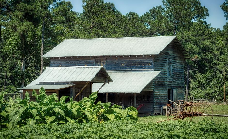 Tobacco field in South Carolina